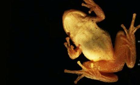 hukum makan katak
