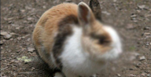makan daging kelinci