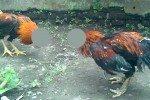 hukum sabung ayam