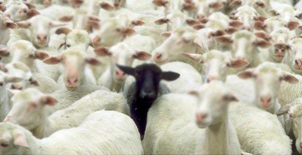 kurban kambing suriah